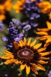 Цветеня цветка Gloriosa черно-наблюданные маргариткой Susan Стоковая Фотография