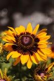Цветеня цветка Gloriosa черно-наблюданные маргариткой Susan Стоковое Фото