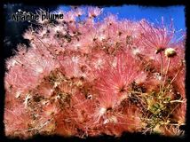 Цветеня южной оправы Стоковые Изображения