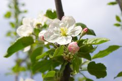 Цветеня Яблока Стоковое Изображение RF