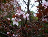 Цветеня Яблока в саде Стоковые Фото