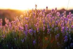 Цветеня Lavander Стоковые Изображения