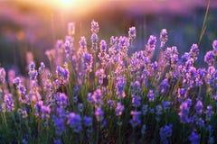 Цветеня Lavander Стоковые Изображения RF
