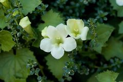 Цветеня Loftos Стоковое фото RF