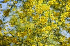Цветеня Palo Verde стоковая фотография rf