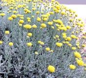 Цветеня Santolina Стоковые Изображения