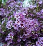 Цветеня uncinatum Chamelaucium Стоковое Изображение RF