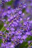 цветет лаванда Стоковая Фотография