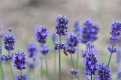 цветет лаванда Стоковые Изображения RF