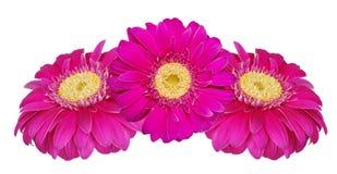 цветет белизна изолированная gerbera Стоковые Фото