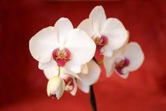 цветет белизна орхидеи Стоковая Фотография