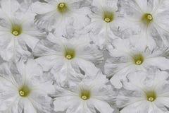 цветет белизна петуньи Стоковое Изображение RF