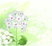 цветет белое одичалое иллюстрация вектора
