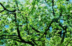 цветет белизна Весна, апрель 2017 Стоковая Фотография