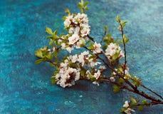 цветет белизна вишня ветви на голубой предпосылке Стоковое Изображение RF