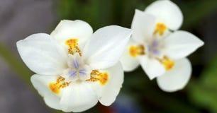 цветет белизна лилии стоковые фотографии rf