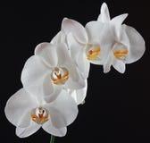 цветет белизна орхидеи Стоковые Фото