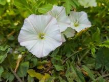 цветет белизна петуньи Стоковая Фотография