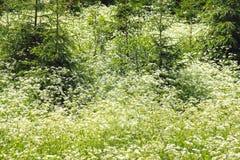 цветет белизна пущи Стоковые Изображения RF