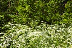 цветет белизна пущи Стоковое Фото