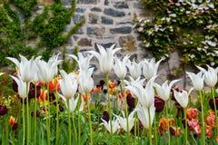 цветет белизна тюльпана Стоковое Фото