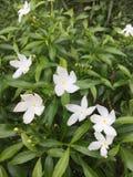 цветет белизна Стоковое Изображение