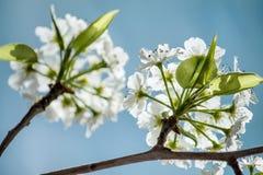 цветет белизна Стоковая Фотография