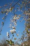 цветет белизна Стоковые Изображения RF