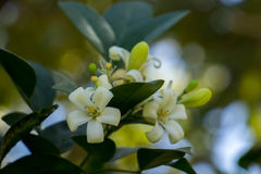 цветет белизна Стоковые Фото