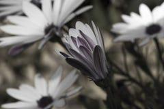 цветет белизна Стоковые Фотографии RF