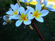 цветет белизна frangipani Стоковые Фото