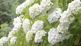 цветет белизна hydrangea видеоматериал