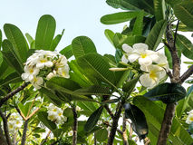 цветет белизна plumeria Стоковая Фотография
