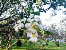 цветет белизна plumeria Стоковое Изображение