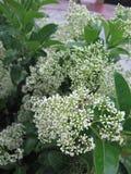 цветет белизна shrub стоковые изображения rf