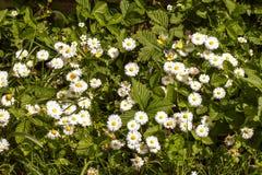 Цветет белые маргаритки с зелеными листьями Стоковое фото RF