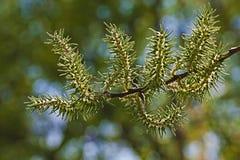 Цветет весна вербы (Salix) Стоковое фото RF