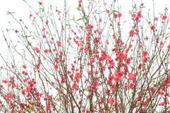 цветет весна персика Стоковые Изображения