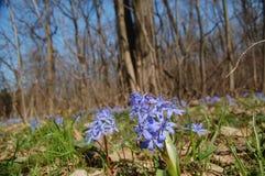 цветет весна пущи Стоковая Фотография RF