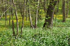 цветет весна пущи Стоковое Изображение RF