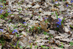 цветет весна пущи Стоковые Фотографии RF