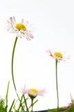 цветет весна marguerite стоковые фотографии rf