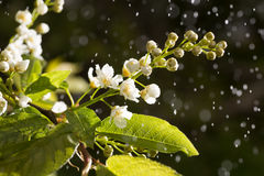 Цветет вишня птицы на дереве Стоковые Изображения RF