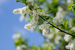 Цветет вишня птицы Стоковая Фотография RF