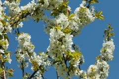 Цветет вишня свободная Стоковые Изображения RF