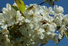 Цветет вишня свободная Стоковая Фотография