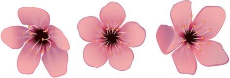 Цветет вишня Стоковое Фото