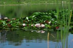 цветет вода лотоса лилий озера Стоковое фото RF