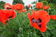 цветет востоковедный мак papaver orientale Стоковое Фото