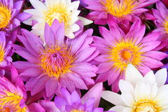 цветет вода лилии Стоковая Фотография RF